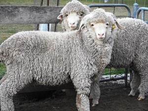superfine merino lamb