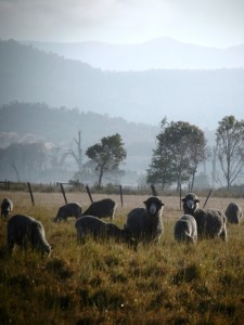 Tasmanian merino, superfine and ultrafine sheep