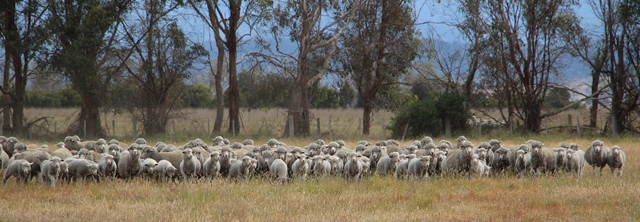 Merino Sheep Australia