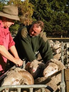 SRS merino sheep breeding Australia 33