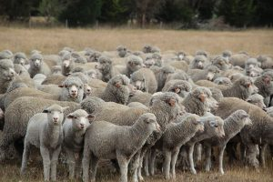 merino sheep facts