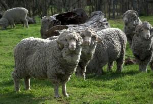 Australian Superfine Merino Rams