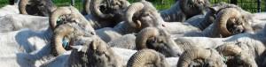 Tasmanian superfine merino