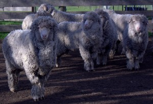 Superfine Merino Poll Sires