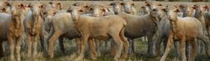 feedlot merino lambs