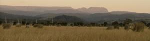 Tasmanian merino