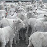 Sheep Pellets to finish Merino Lambs