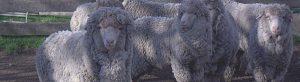 Merino Sheep Breeders