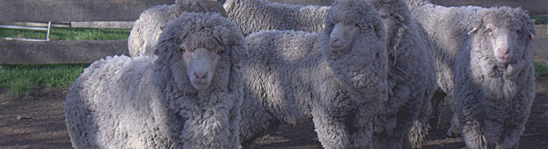 Merino Sheep Breeders