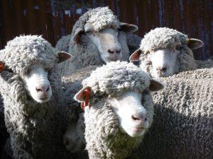 Raising merino sheep