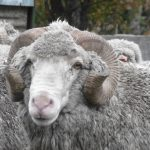 New merino sheep
