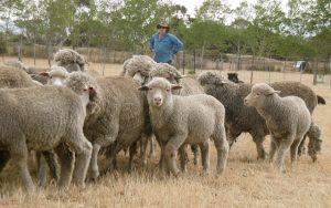 Raising merino sheep