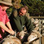 SRS Advances Ethical Superfine Merino Sheep