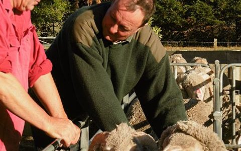 SRS Advances Ethical Superfine Merino Sheep